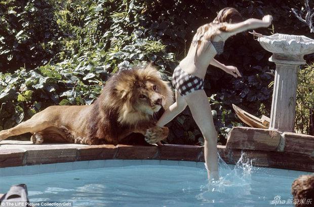 真人版美女与野兽 美国女星养狮子当宠物