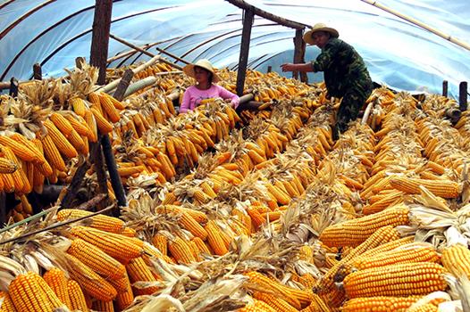 金黃玉米喜豐收