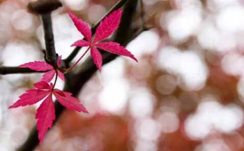 烈士公園的楓葉紅了