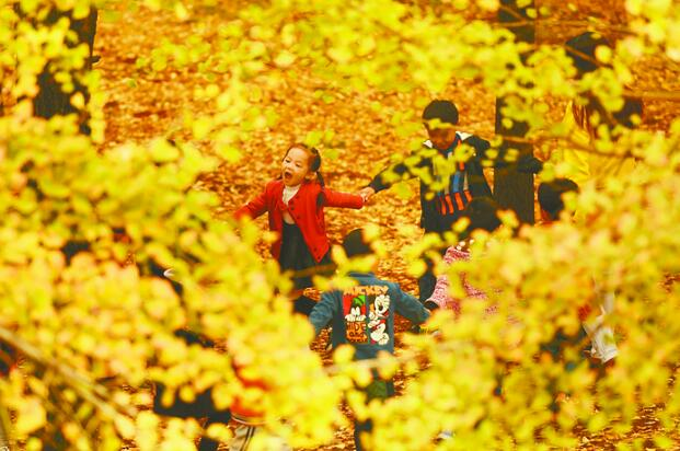 立冬時節 銀杏金黃