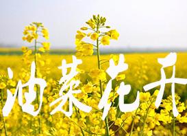 航拍湖南長沙:油菜花開 燦爛如海