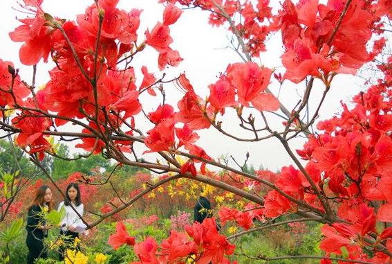 萬株杜鵑 8種顏色 長沙第二屆杜鵑花旅遊文化節開幕