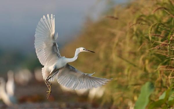 湘陰白泥湖迎來上萬候鳥繁衍棲息