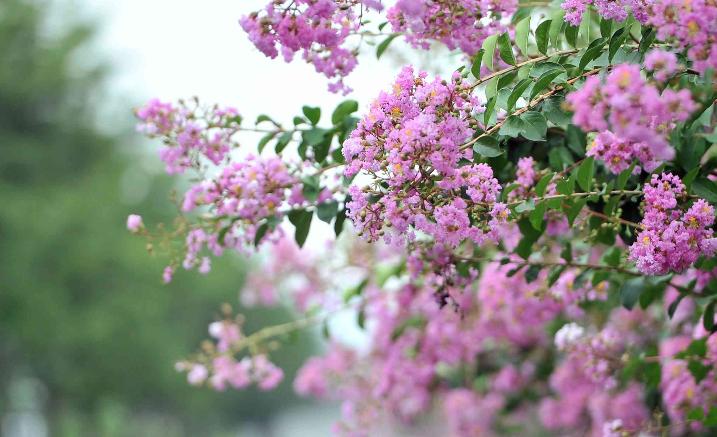 組圖 | 瀏陽河畔 夏花絢爛