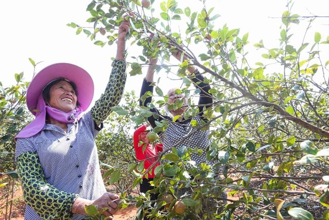 臨武縣:八萬畝茶林茶果飄香獲豐收