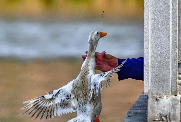 放開那只鴨子!西湖公園屢屢發生遊客偷釣鴨子不文明行為