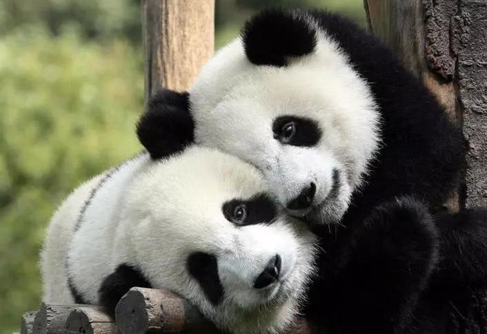 喜訊!8只大熊貓即將從四川到鳳凰安家