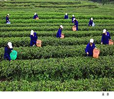 宁乡沩山茶叶
